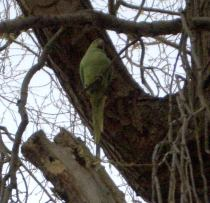Parakeet in Hampstead Heath